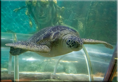 Turtle at SEA LIFE Great Yarmouth
